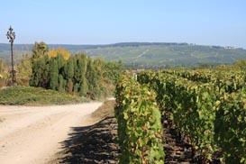 Nos vignes à Chouilly